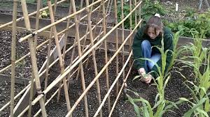 sowing climbing peas youtube