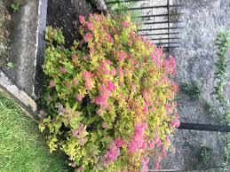 shrub id gardening forum gardenersworld com