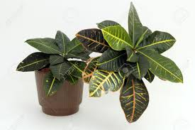 Croton Tropical Plant A Tropical Croton Houseplant With Variegated Leaves Of Red Yellow