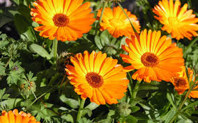 calendula flowers 363 calendula orange turtle tree seed initiative