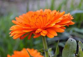 calendula flowers how to grow calendula flowers for skincare recipes lovely greens