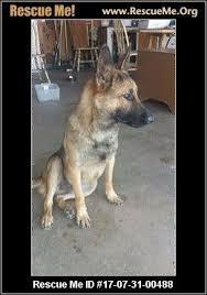 belgian sheepdog rescue california california belgian malinois rescue u2015 adoptions u2015 rescueme org