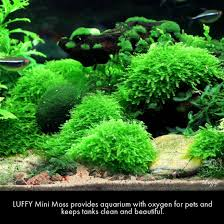 Most Beautiful Aquascapes Amazon Com Luffy Coco Mini Moss Builds A Beautiful And Natural