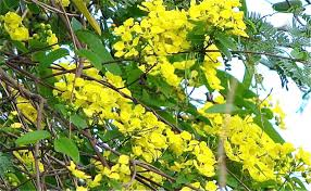 Yellow Flowering Trees - flowering trees pictures laura williams