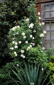 Flowering Shrubs For Partial Sun - carpenteria californica bush anenome full sun to partial shade