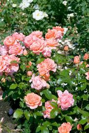 Fragrant Rose Plants - easy elegance sweet fragrance rose