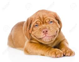 dogue de bordeaux puppy images u0026 stock pictures royalty free