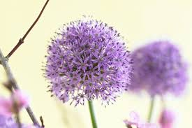 allium gladiator ornamental