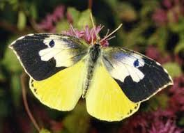 california state insect california dogface butterfly