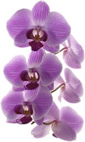 Purple Orchids Welcome To Purple Orchid Purple Orchid