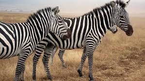 what noise does a zebra make reference com
