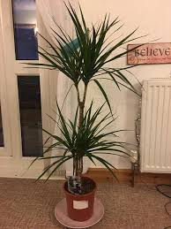 indoor palm new unwanted indoor palm tree type plant 42