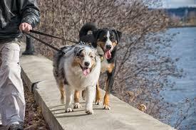 t r australian shepherds free images chien canada vertebrate quebec sherbrooke
