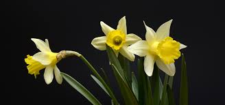 free images nature flower yellow daffodil flora daffodils