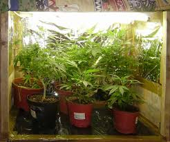 chambre de culture fait maison culture cannabis placard fedjpg with culture cannabis
