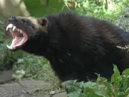 Badger Memes - badger meme generator imgflip