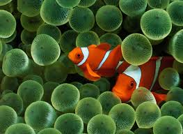clownfish the animals kingdom