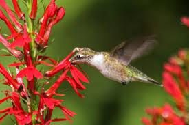 hummingbird flowers cardinal flower attracts hummingbirds likes soil yard
