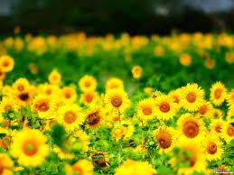 sun flower powerpoint slide template u2013 graphicpanic com