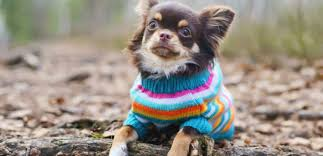chihuahua sweaters should dogs wear clothes in winter tag