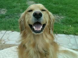 Comfort Retrievers Dog Breeders In Montana Puppies For Sale In Montana