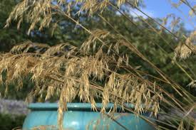 cutting back grasses lambley nursery