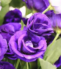 purple roses top 10 most beautiful purple roses