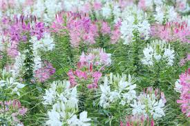 Cleome Flower - spider flower or cleome spinosa flower stock photo picture and
