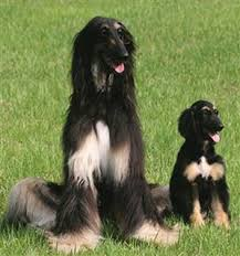 afghan hound job the afghan hound a dog of royalty pet secrets for humans yeepet