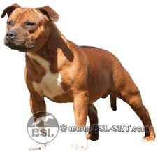 american pitbull terrier in uk spartan dogs staffordshire bull terrier