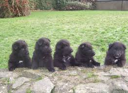 belgian sheepdog groenendael breeder groenendael shepherd puppies for sale free here