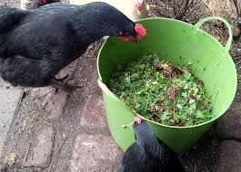 How To Cut Weeds In Backyard Weeds 101 A Nutritious Free Treat For Your Backyard Chickens