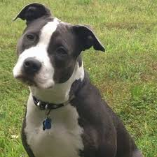 american pitbull a terrier american pit bull terrier dog breed pictures 3