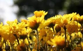 single sun flower wallpapers single sun flower wallpapers in jpg format for free download