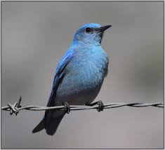 Bluebird Map Western Bluebird Sialia Mexicana Identification Diet And