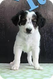 australian shepherd virginia coral adopted puppy greenville va australian shepherd