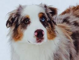 australian shepherd indiana view ad australian shepherd puppy for sale washington port