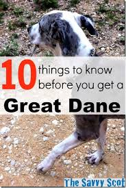 5280 australian shepherd 10 things to know before you get a great dane huffpost