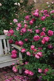 534 best garden roses images on pinterest garden roses