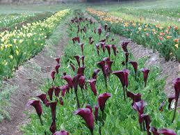 calla bulbs calla lilies bulbs purple calla bulbs va home and garden