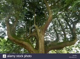 a western cedar tree thuja plicata grown to produce several
