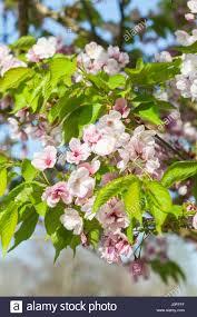 prunus matsumae mathimur zakura ornamental cherry tree blossom