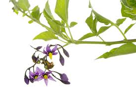 pet poison helpline belladonna poisoning in dogs and cats