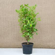 native hedging plants uk pot grown griselinia littoralis plants wholesale griselinia