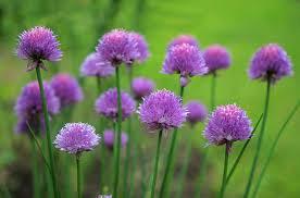 purple flowers fresh purple flowers domain free photos for