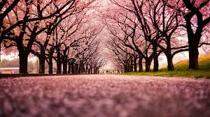 blossom trees landscape cherry blossom trees path nature wallpaper and background