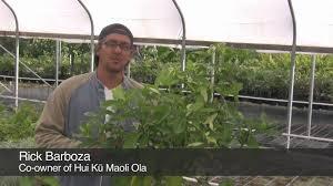 native hawaiian plant nursery five easy native hawaiian landscaping plants youtube