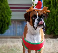 boxer dog 2015 diary january 2015 the pigaloo diaries