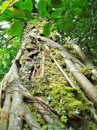 trees of maui uses u0026 stories banyan koa sandalwood coconut