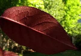 a tree grower s diary purple leaf plum facts